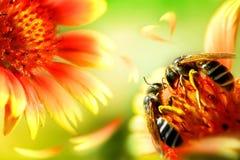 在一朵美丽的红黄色花的两只蜂 艺术性的自然宏观图象 免版税库存图片