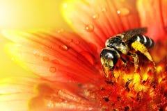 在一朵美丽的红黄色花的蜂在小滴水 免版税库存图片