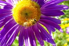 在一朵美丽的花的蜂蜜蜂在夏天晴天 免版税图库摄影