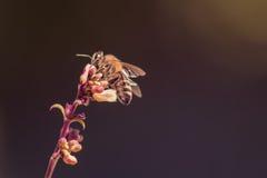 在一朵美丽的花的蜂蜜蜂 免版税库存图片
