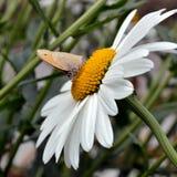 在一朵美丽的雏菊的草甸棕色蝴蝶 免版税库存照片