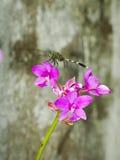 在一朵美丽的紫色兰花的蜻蜓 免版税库存图片