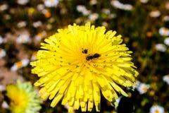 在一朵美丽的黄色花上的一只昆虫 库存照片