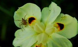 在一朵花与斑点,狂放的虹膜花,孔雀花的一只蜘蛛 图库摄影
