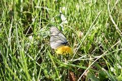 在一朵花的一只白色蝴蝶与zlot 库存照片