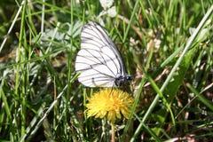 在一朵花的一只白色蝴蝶与zlot 免版税图库摄影