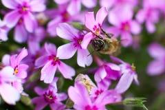 在一朵花的一只蜂在夏天或春天,特写镜头 宏观照片 免版税库存图片