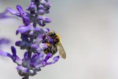 在一朵花的一只蜂在夏天 库存图片