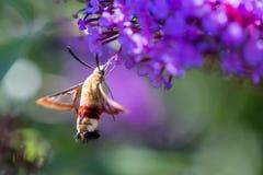 在一朵花的一只蜂鸟鹰飞蛾从边 免版税图库摄影