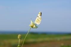 在一朵花的一只轻的蝴蝶反对蓝天 免版税库存图片