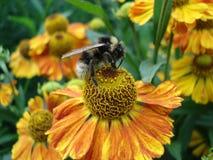 在一朵花的土蜂在庭院里 免版税库存图片