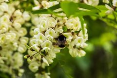 在一朵花的土蜂在春天 库存照片