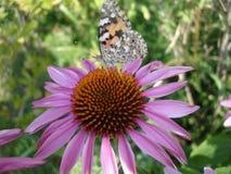 在一朵花的大蝴蝶在夏天庭院里 库存照片