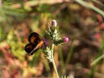 在一朵花的橙色蝴蝶与矛 免版税库存照片