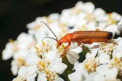 在一朵花的甲虫在春天 收集b的花粉的昆虫 免版税库存图片