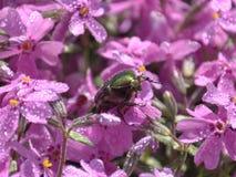 在一朵花的甲虫在雨以后 免版税库存照片