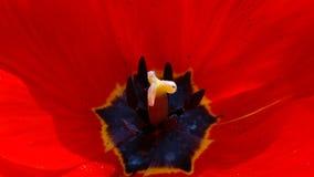 在一朵花的红色郁金香在蓝色背景 库存照片