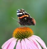 在一朵花的美丽的蝴蝶本质上 图库摄影