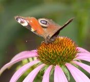 在一朵花的美丽的蝴蝶本质上 免版税图库摄影