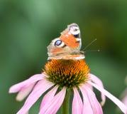 在一朵花的美丽的蝴蝶本质上 库存图片