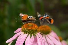 在一朵花的美丽的蝴蝶本质上 免版税库存照片