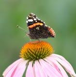 在一朵花的美丽的蝴蝶本质上 免版税库存图片