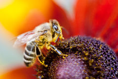 在一朵花的蜂在宏指令 免版税图库摄影
