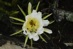 在一朵花的蜂在巴西 库存照片
