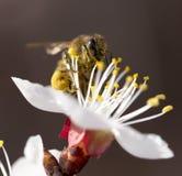 在一朵花的蜂在自然 宏指令 库存照片