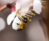在一朵花的蜂在自然 宏指令 库存图片