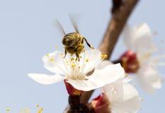 在一朵花的蜂在自然 宏指令 图库摄影