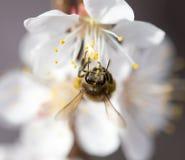 在一朵花的蜂在自然 宏指令 免版税图库摄影
