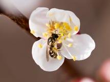 在一朵花的蜂在自然 宏指令 免版税库存图片