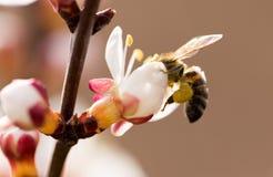 在一朵花的蜂在自然 宏指令 免版税库存照片