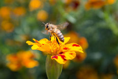 在一朵花的蜂在行动 免版税库存图片
