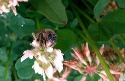 在一朵花的蜂在雨以后在夏天 库存照片