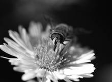 在一朵花的蜂本质上 宏指令 免版税库存图片