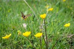 在一朵花的蝴蝶寻找的花蜜使用道路 免版税库存照片