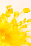 在一朵花的黄色花粉本质上 图库摄影