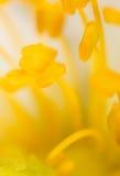 在一朵花的黄色花粉本质上 免版税图库摄影