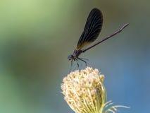 在一朵花的蜻蜓zygoptera反对五颜六色的背景 免版税库存图片