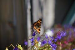 在一朵蓝色花的一只孤立蝴蝶 免版税图库摄影