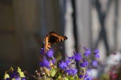 在一朵蓝色花的一只孤立蝴蝶 库存照片