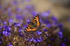 在一朵蓝色花的一只孤立蝴蝶 库存图片