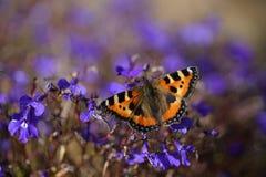 在一朵蓝色花的一只孤立蝴蝶 免版税库存图片