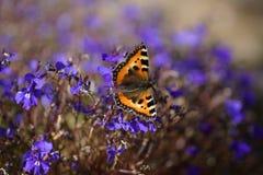 在一朵蓝色花的一只孤立蝴蝶 免版税库存照片