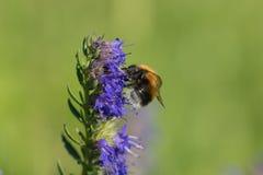 在一朵蓝色花的土蜂 免版税库存图片