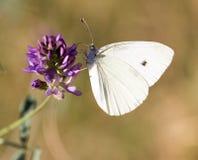 在一朵蓝色花的白色蝴蝶 库存图片