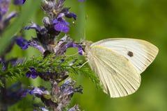 在一朵蓝色花的纹白蝶。水平的宏指令 库存照片
