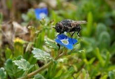 在一朵蓝色花的飞行 图库摄影